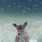 The portrait of spotted fallow deer doe Stock Photos