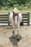 Portrait of spotted horse Stock Image