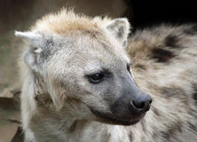 Portrait of a Spotted Hyena Royalty Free Stock Photography