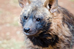 Portrait of spotted Hyena Royalty Free Stock Image
