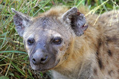Portrait of a spotted hyena. Crocuta crocuta. Also unknown as laughing hyena it is a scavenger predator of the savannah Stock Photo