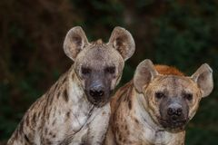 Portrait of spotted hyena. On dark background royalty free stock photo