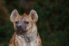 Portrait of spotted hyena. On dark background royalty free stock image