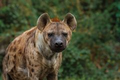 Portrait of spotted hyena. On dark background stock photos