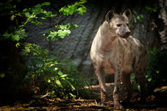 Portrait of spotted hyena Stock Photos
