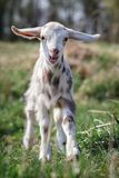 White goatling with sand brown spots