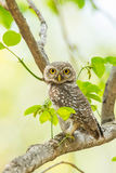 Portrait of  Spotted owlet Stock Image