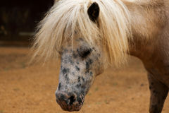 Portrait of spotted pony in farmyard Stock Photography