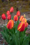 Portrait of spring flowers growing in a home garden, yellow tulips and red and yellow tulips, brick wall in the background, spring. Time in the Pacific Northwest royalty free stock images