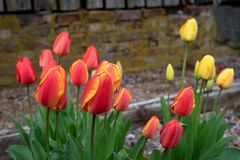 Portrait of spring flowers growing in a home garden, yellow tulips and red and yellow tulips, brick wall in the background, spring. Time in the Pacific Northwest royalty free stock photography