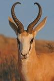 Portrait of springbok royalty free stock photos