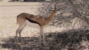 Portrait of springbok antelope grazing stock footage