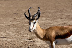 Portrait of Springbok Antidorcas marsupialis Royalty Free Stock Image