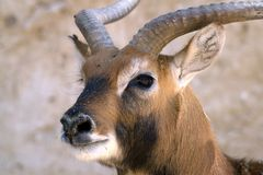 Portrait of a springbok gazelle. Portrait of a gazelle in a semi-profile. Portrait of an gazelle with large eyes and beautiful horns. Big ears. Beautiful muzzle Stock Image