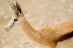Portrait Springbok Royalty Free Stock Photo