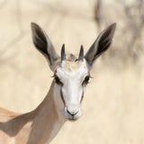 Portrait of a Springbok Stock Photo