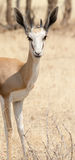 Portrait of a Springbok Stock Photography