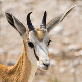 Portrait of a Springbok Royalty Free Stock Images