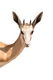 Portrait of a Springboks head, isolated. On white background, seen in namibia, africa Stock Image