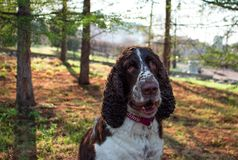 Portrait of Springer Spaniel in the Park, against the background of beautiful shadows of trees and sunlight. royalty free stock photography