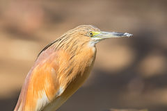 Portrait of  squacco heron Stock Images