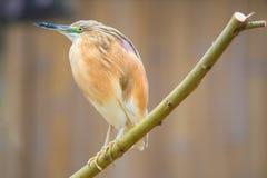 Portrait of  squacco heron Stock Images