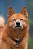 Portrait of squinting hunting dog Stock Image