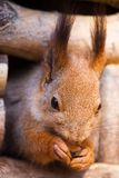 Portrait of a squirrel Royalty Free Stock Image