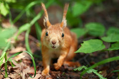 Portrait of a squirrel. In the wood. sharp nose, other is small Depth of Field Stock Images