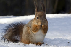 Portrait of squirrel. Royalty Free Stock Photography