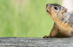 Portrait of squirrel close-up. Royalty Free Stock Photos