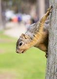 Portrait of squirrel close-up. Stock Images