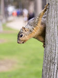 Portrait of squirrel close-up. Royalty Free Stock Images