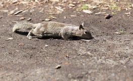 Portrait of squirrel close-up. Stock Photos