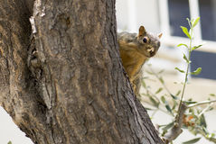 Portrait of squirrel close-up. Royalty Free Stock Image