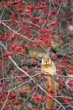 Squirrel eat fruit on dry tree. Portrait of squirrel eating red rose hips or briar berries fruit on dry tree in winter. Wildlife animal with natural forest Stock Images