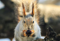Portrait of a squirrel eats nuts on a stump sitting on a white i Royalty Free Stock Photos