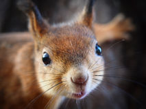 Portrait of a Squirrel Stock Image