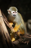 Portrait of squirrel monkey Royalty Free Stock Photo