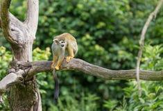 Portrait of squirrel monkey Saimiri sciureus sitting on a tree branch Stock Photos