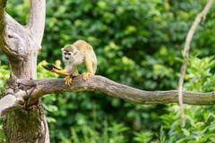 Portrait of squirrel monkey Saimiri sciureus sitting on a tree branch Stock Photography