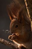 Portrait of the squirrel in natural backlight Royalty Free Stock Photos