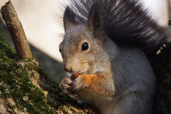 Portrait of a squirrel nibbling a nut. Stock Photos
