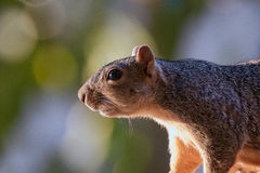 Portrait of a Squirrel Royalty Free Stock Images