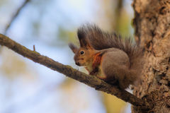 Portrait of a squirrel Stock Photo