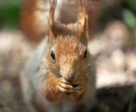 Portrait of a squirrel Royalty Free Stock Photos