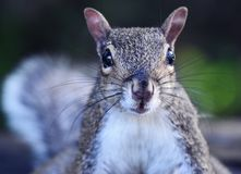 Portrait of a squirrel in the woods stock photography