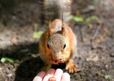 Portrait of a squirrels eat with your hands Royalty Free Stock Images