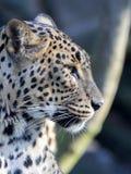 Portrait of Sri Lanka Leopard, Panthera pardus kotiya. One Portrait of Sri Lanka Leopard, Panthera pardus kotiya Stock Photo