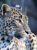 Portrait of Sri Lanka Leopard, Panthera pardus kotiya. One Portrait of Sri Lanka Leopard, Panthera pardus kotiya Royalty Free Stock Photography